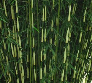 Bambú Fargesia robusta Campbell