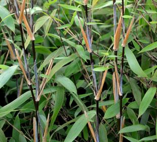 Bambú Fargesia nitida Great Wall