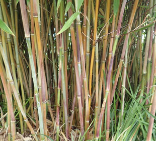 Bambú Fargesia 'Winter Joy'