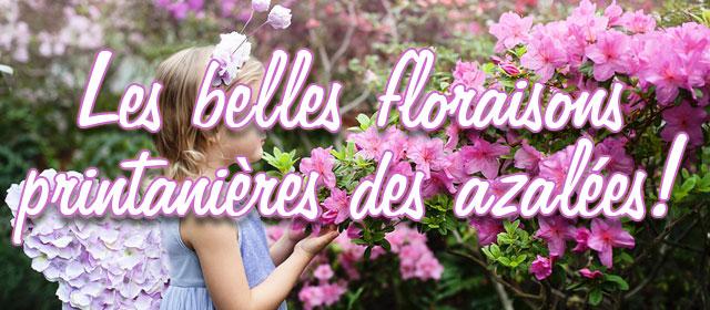 Retrouvez les belles floraisons printanières des azalées !
