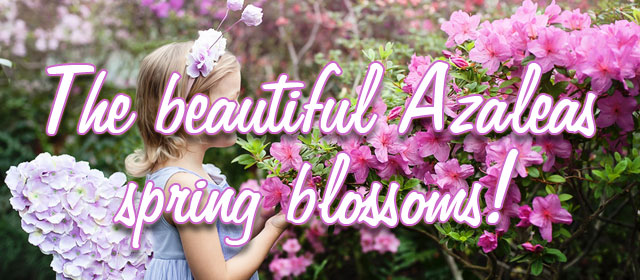 Find the beautiful Azaleas' spring blossoms at Planfor!