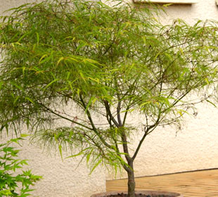 Japanese Maple 'Koto no ito'