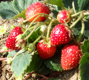 Fresas 'Mount Everest'