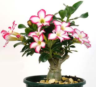 Desert Rose White/Red flowers