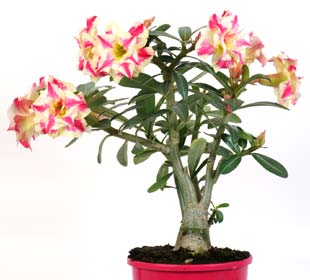 Desert Rose Yellow/Red flowers