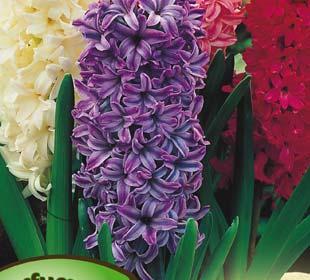 Hyacinths, Mixed
