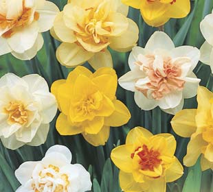 Daffodils, Mixed, Double