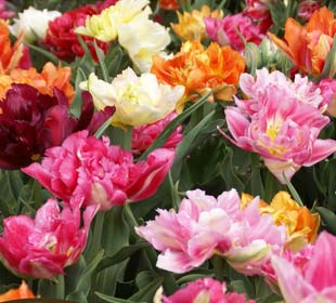 Tulip Double, Early flowering Mixed