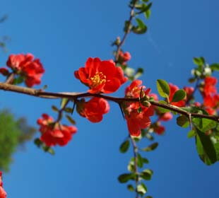 Japanese Flowering Quince 'Crimson and Gold'