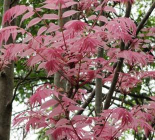 Chinese Cedar 'Flamingo'
