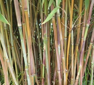Bamboo Fargesia 'Winter Joy'