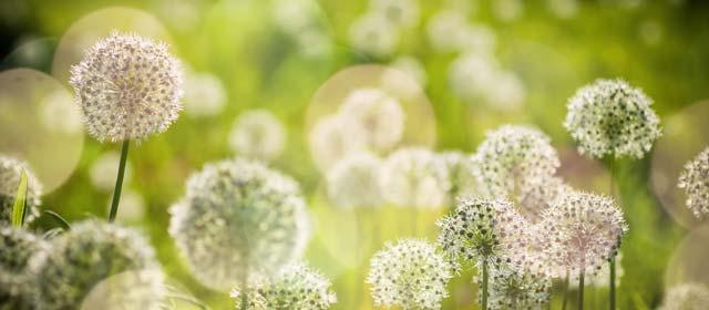 Low price Allium bulbs