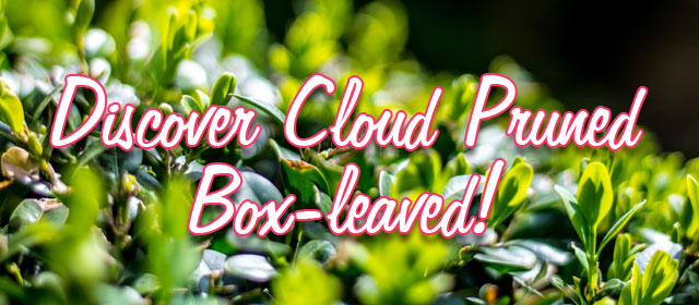 Discover Cloud Pruned Box-leaved!