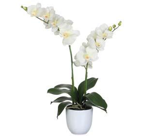 Phalaenopsis Crème