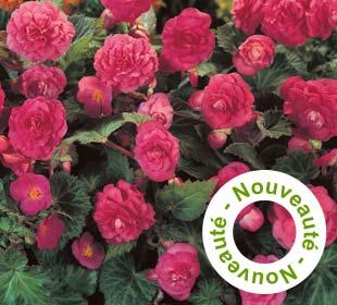 Bégonia Multiflora Rose