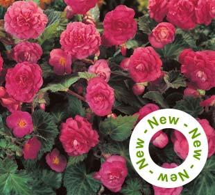Begonia Multiflora Pink
