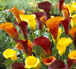 Arum lily Mixed