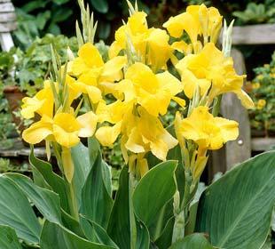 Canna 'Yellow Humbert'