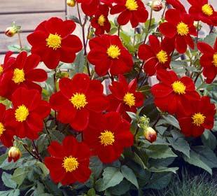 Dahlia Mignon red