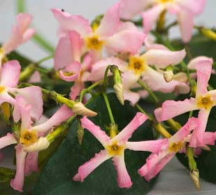 Pink Star Jasmine 'Pink Showers'®