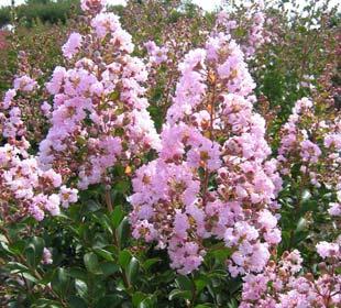 Lila de las Indias rosa