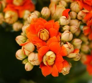 Kalanchoe à fleurs oranges