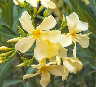 Laurier rose - Fleurs jaunes