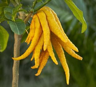 Cédratier Main de Bouddha, un fruit ORIGINAL !