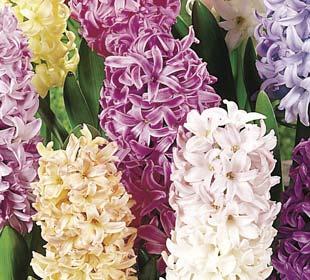 Hyacinths  Pastel Mixed