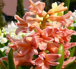 Hyacinth 'Gipsy Queen'