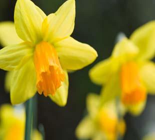 Daffodil Tenby