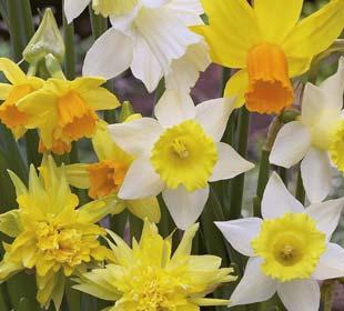 Daffodil, botanical Mix