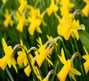 Daffodil 'Tête à tête'