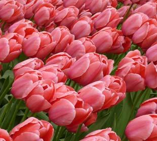 Darwin Tulips