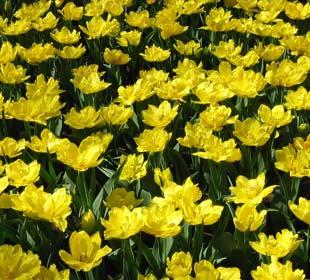 Early-flowering Tulips