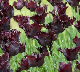 Late-flowering Tulips