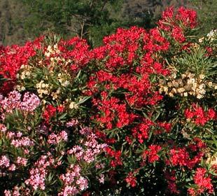 Oleandro vermelho