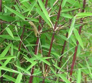 Bambou Fargesia jiuzhaigou Genf Red