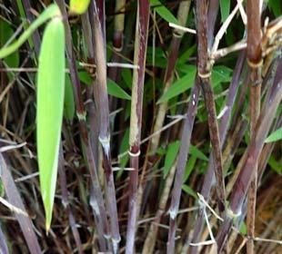 Bambou Fargesia nitida 'Volcano'