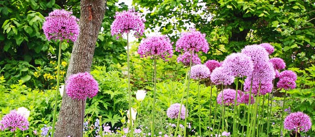 Order your Spring Allium bulbs now !