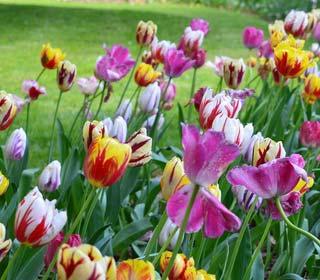 Je commande mes bulbes de Tulipes dès maintenant !