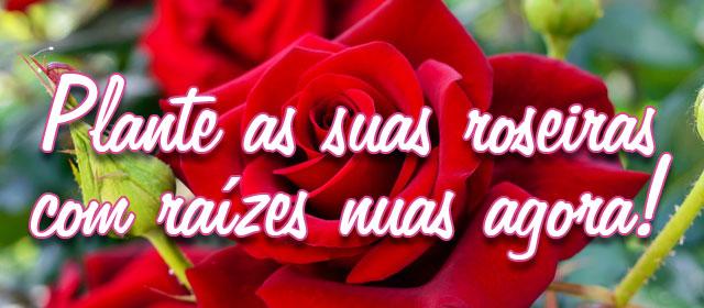 Plante agora as suas roseiras com raízes nuas agora!