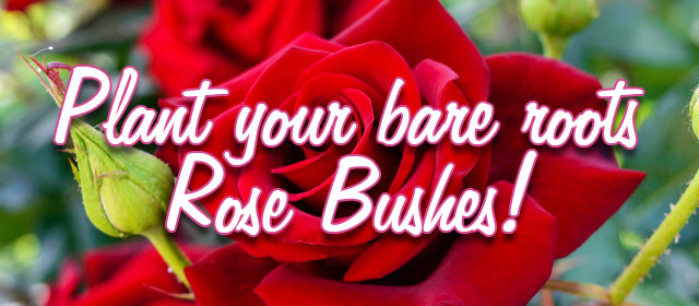 Come now and plant your bare roots Rose Bushes!