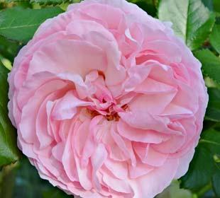 Roseira 'Pierre de Ronsard'