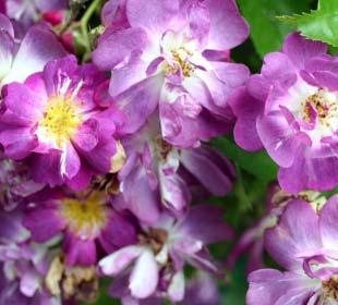Roseira 'Veilchenblau'