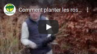 Comment planter les rosiers à racines nues ?