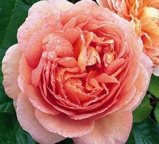 Rosal 'Abraham Darby'