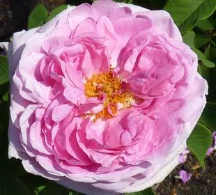 Rosal 'Comte de Chambord'