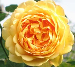 Rosal 'Golden Celebration'