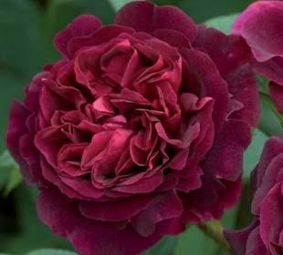Rosal 'Munstead Wood'
